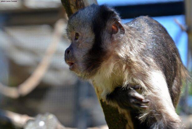 Mała małpka Ginger Warszawskie Zoo / Facebook.com