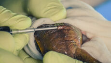 Badania biometryczne salamandry z jeziora Patzcuaro w meksykańskim rządowym centrum rybołówstwa