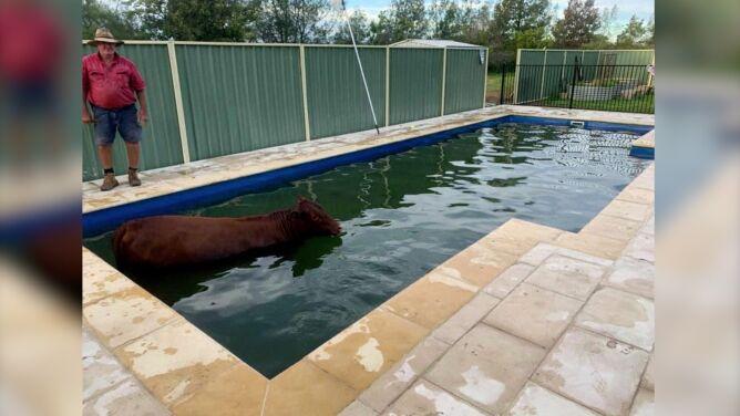"""Krowa wpadła do basenu. """"Była całkiem zadowolona"""""""