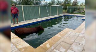 Krowa wpadła do basenu