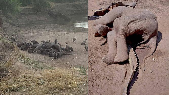 Pod ciałem martwego słonia <br />znaleziono krokodyla