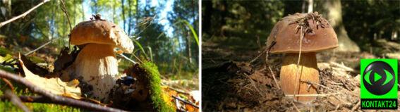 W lasach sucho, ale grzybów nie brakuje