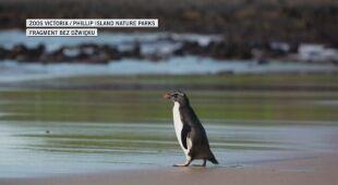 Odważny pingwin z Nowej Zelandii